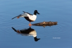 Anas-acuta;Anas-clypeata;Duck;Northern-Pintail;Northern-Shoveler;Reflection;Wing