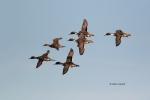 Anas-acuta;Breeding-Behavior;Breeding-Display;Courtship;Duck;Flock;Northern-Pint