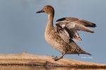 Anas-acuta;Duck;Female;Northern-Pintail;One;avifauna;bird;birds;color-image;colo