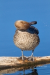 Anas-acuta;Duck;Female;Northern-Pintail;One;Preening;avifauna;bird;birds;color-i