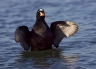 Surf-Scoter;Scoter;Melanitta-perspicillata;one-animal;close-up;color-image;nobod