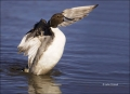 Northern_Pintail
