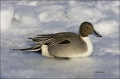 Northern-Pintail;Pintail;one-animal;close-up;color-image;nobody;photography;day;