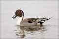 Northern-Pintail;Anas-acuta;Duck;Japan;One;avifauna;bird;birds;feather;feathered