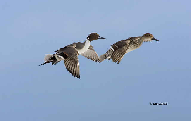 Pintail;Northern Pintail;Anas acuta;flying bird;Two animals;close-up;color image;nobody;photography;day;birds;animals in the wild;flight;Male;Female;Flying bird;One animal;Close-up;Color image;Outdoors;Wildlife;Birds;Animals in the wild;Flight;action;active;aloft;in flight;motion;movement;soar;soaring;winged;wings;behavior;outdoors;Close up;close up;two animals