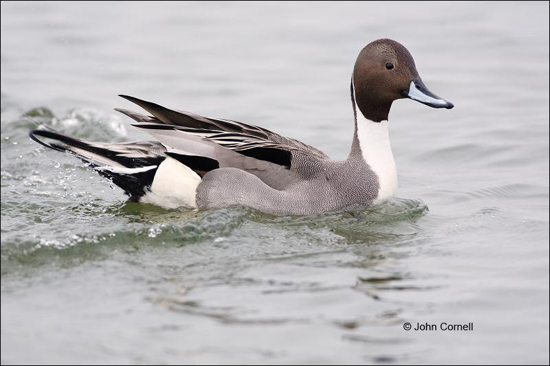 Northern Pintail;Anas acuta;Duck;Japan;One;avifauna;bird;birds;feather;feathered;feathers;nature;outdoor;outdoors;wild;wilderness;wildlife;color photograph;color image;natural