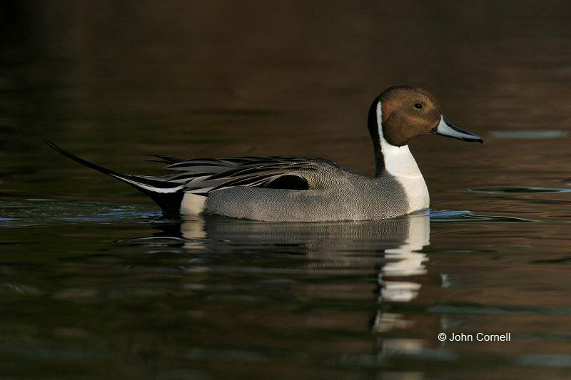 Northern Pintail;Pintail;Duck;Anas acuta;One;avifauna;bird;birds;feather;feathered;feathers;nature;outdoor;outdoors;wild;wilderness;wildlife;color photograph;color image;natural