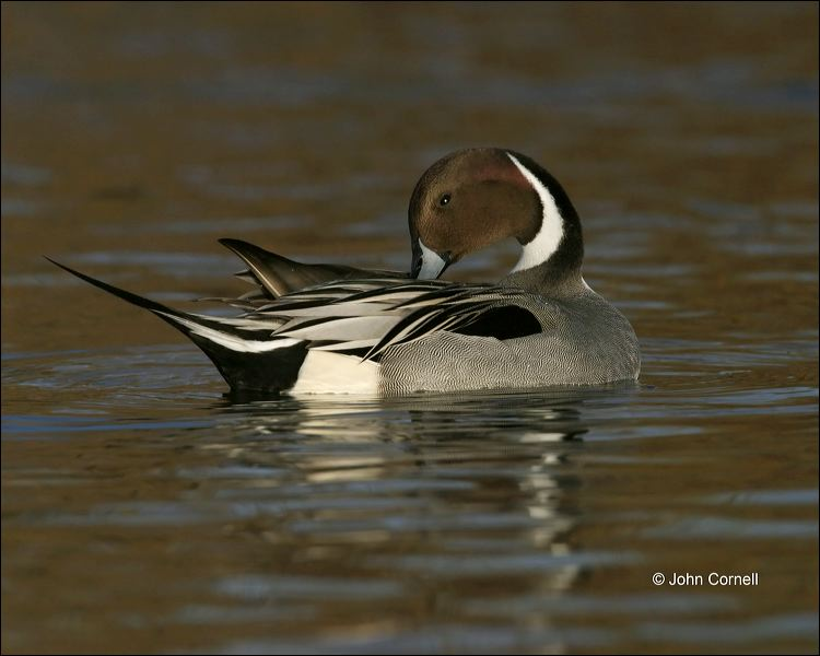 Duck;Male;Northern Pintail;Anas acuta;one animal;close-up;color image;nobody;photography;day;outdoors. Wildlife;birds;animals in the wild