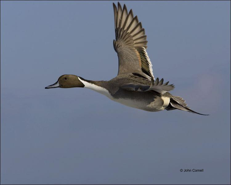 New Mexico;Southwest USA;American Wigeon;Duck;Anas americana;one animal;close-up;color image;nobody;photography;day;outdoors. Wildlife;birds;animals in the wild;flying bird;flight;California;Flight;Male;Mallard;Anas platyrhynchos;Pintail;Northern Pintail;Anas acuta;Waterfowl;Female