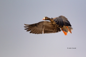 Anser-albifrons;Blue-Sky;Flying-Bird;Greater-White-fronted-Goose;Photography;Wat