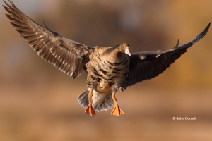 Anser-albifrons;Flying-Bird;Greater-White-fronted-Goose;One;Photography;White-fr