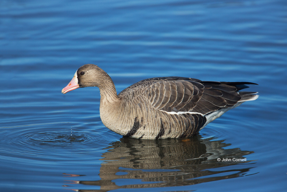 Anser albifrons;Greater White-fronted Goose;One;White-fronted Goose;avifauna;bird;birds;color image;color photograph;feather;feathered;feathers;foraging;natural;nature;outdoor;outdoors;wild;wilderness;wildlife