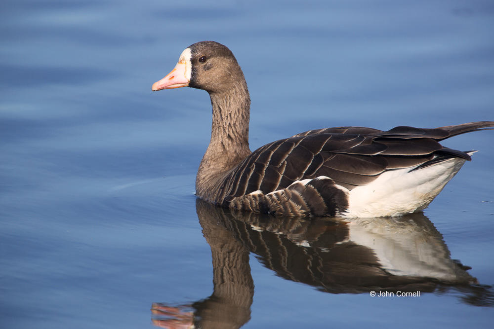 Anser albifrons;Greater White-fronted Goose;One;White-fronted Goose;avifauna;bird;birds;color image;color photograph;feather;feathered;feathers;natural;nature;outdoor;outdoors;wild;wilderness;wildlife