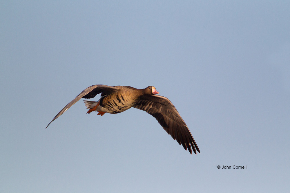 Anser albifrons;Flying Bird;Greater White-fronted Goose;Photography;action;active;aloft;behavior;birds;color image;flight;fly;flying;in flight;motion;movement;one animal;soar;soaring;wing;winged;wings