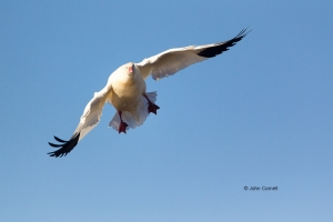 California;Chen-rossii;Colusa-National-Wildlife-Refuge;Flying-Bird;Goose;One;Pho