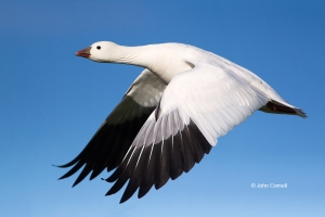 California;Chen-rossii;Flying-Bird;Goose;Photography;Ross-Goose;Rosss-Goose;acti