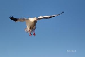 California;Chen-caerulescens;Colusa-National-Wildlife-Refuge;Flying-Bird;Goose;P