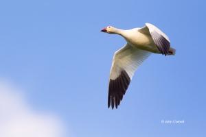 Chen-caerulescens;Goose;Snow-Goose,-action,-active,-aloft,-avifauna,-behavior,-b