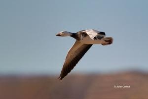 Blue-Morph;Chen-caerulescens;Goose;Snow-Goose,-action,-active,-aloft,-avifauna,-