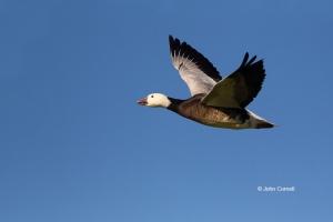 Blue-Morph;Chen-caerulescens;Goose;Snow-Goose;blue-goose,-action,-active,-aloft,