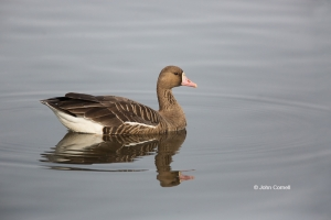 Anser-albifrons;Greater-White-fronted-Goose;White-fronted-Goose;one-animal;close