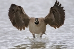 Branta-canadensis;Canada-Goose;Flying-Bird;Photography;action;active;aloft;beha