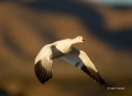 New-Mexico;Snow-Goose;Goose;Flight;Southwest-USA;Chen-caerulescens;Flying-bird;a
