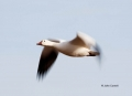 Snow-Goose;Goose;Chen-caerulescens;Flying-bird;action;aloft;behavior;flight;fly;