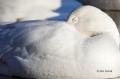 Snow_Goose