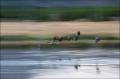 Canada-Goose;Goose;Branta-canadensis;Madison-River;Scenic;Sunrise;Yellowstone-Na