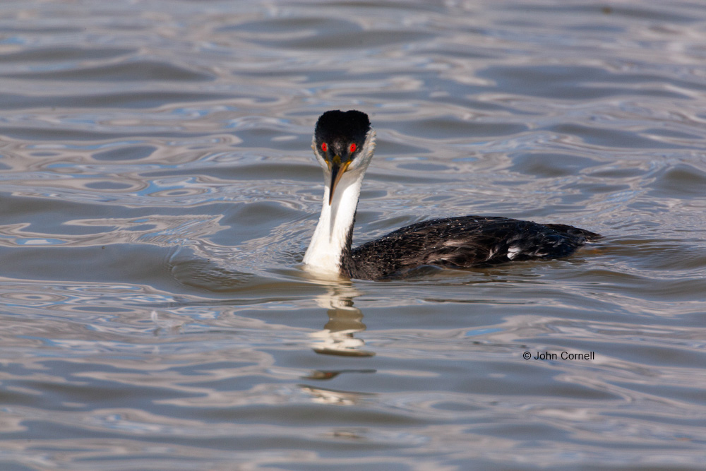 Aechmophorus occidentalis;Breeding Plumage;Grebe;One;Western Grebe;avifauna;bird;birds;color image;color photograph;feather;feathered;feathers;natural;nature;outdoor;outdoors;wild;wilderness;wildlife