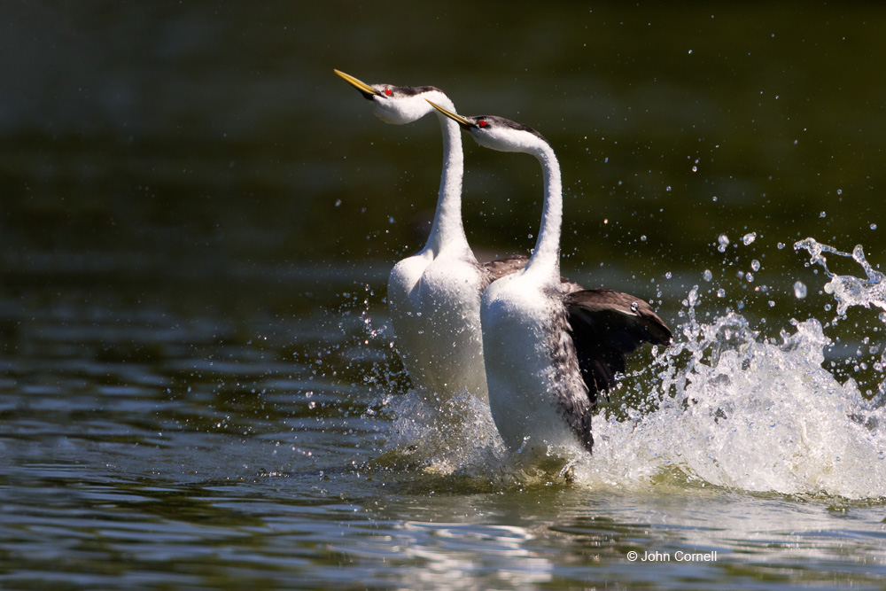 Aechmophorus occidentalis;Bonding behavior;Breeding Behavior;Breeding Display;Courtship;Grebe;Western Grebe;dancing