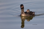 Eared-Grebe;Feeding-Behavior;Podiceps-nigricollis;chick;feeding;parent;parenting