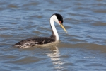 Aechmophorus-occidentalis;Breeding-Plumage;Grebe;One;Western-Grebe;avifauna;bird
