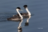 Aechmophorus-occidentalis;Breeding-Behavior;Breeding-Plumage;Grebe;Western-Grebe