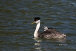 Aechmophorus-occidentalis;Grebe;Western-Grebe;chicks;nurture;nurturing;parent;pa