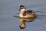 Eared-Grebe;One;Podiceps-nigricollis;avifauna;bird;birds;chick;color-image;color