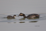 Eared-Grebe;Feeding-Behavior;Podiceps-nigricollis;Reflection;chick;chicks;feedin