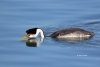 Aechmophorus-occidentalis;Grebe;Waterfowl;Western-Grebe;agressive-posture;defend