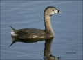 Pied-billed-Grebe;Grebe;Florida;one-animal;close-up;color-image;nobody;photograp