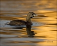 Pied-billed-Grebe;Grebe;Florida;Southeast-USA;Podilymbus-podiceps;One;one-animal