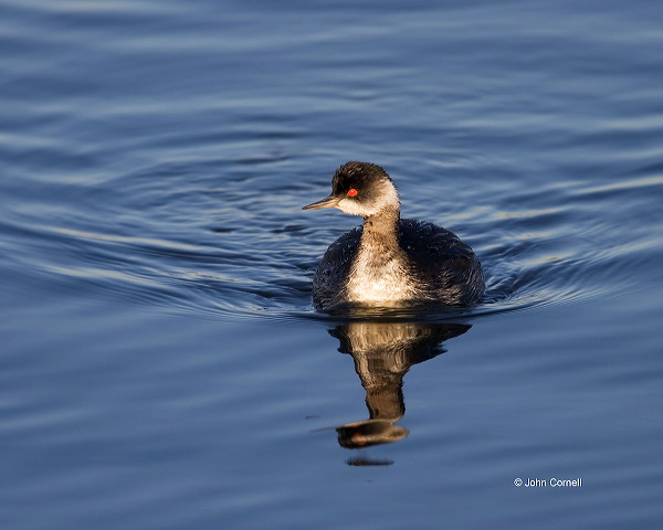 Eared Grebe;Grebe;Podiceps nigricollis;one animal;close-up;color image;nobody;photography;day;birds;animals in the wild;avifauna;feathered;feathers;wilderness;perch;perching;watch;Flying bird;One animal;Close-up;Color image;Outdoors;Wildlife;Birds;Animals in the wild;action;active;aloft;in flight;motion;movement;soar;soaring;winged;wings;behavior;watchful;outdoors;Close up;close up