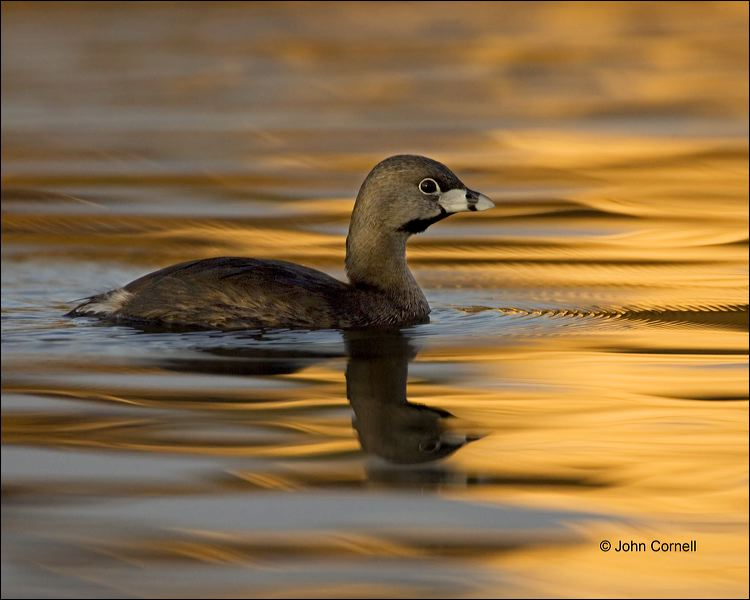 Pied-billed Grebe;Grebe;Florida;Southeast USA;Podilymbus podiceps;One;one animal;avifauna;bird;birds;feather;feathered;outdoors;outside;untamed;wild;color;color photograph;daytime;close up;color image;photography;animals in the wild;feathers;wilderness;perch;perching;watching;watchful;Reflection;Close up