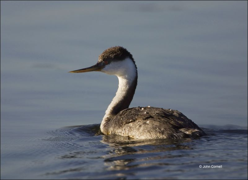 Western Grebe;Grebe;Aechmophorus occidentalis;one animal;close-up;color image;nobody;photography;day;outdoors. Wildlife;birds;animals in the wild