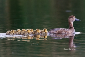 Aythya-americana;Duck;Female;Redhead;Reflection;Swimming;Waterfowl;babies;caring