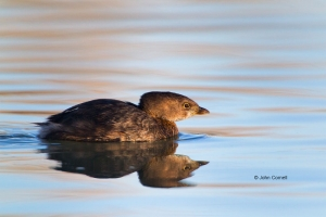 Pied-billed-Grebe;Podilymbus-podiceps;Reflection;Swimming;Waterfowl;portrait;wat