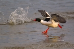 Common-Merganser;Male;Merganser;Mergus-merganser