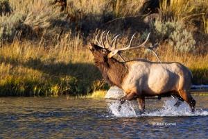 Breeding-Behavior;Breeding-Season-Bull;Cervus-canadensis;Elk;Madison-River;Madis