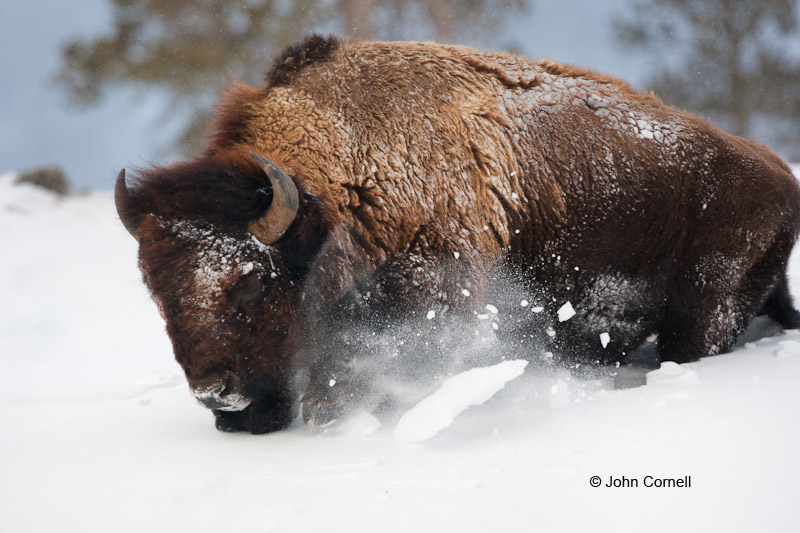 American Bison;Bison;Bison bison;Buffalo;One;Snow;Winter Yellowstone National Park;Yellowstone National Park;Yellowstone in Winter;color image;color photograph;natural;nature;outdoor;outdoors;wild;wilderness;wildlife