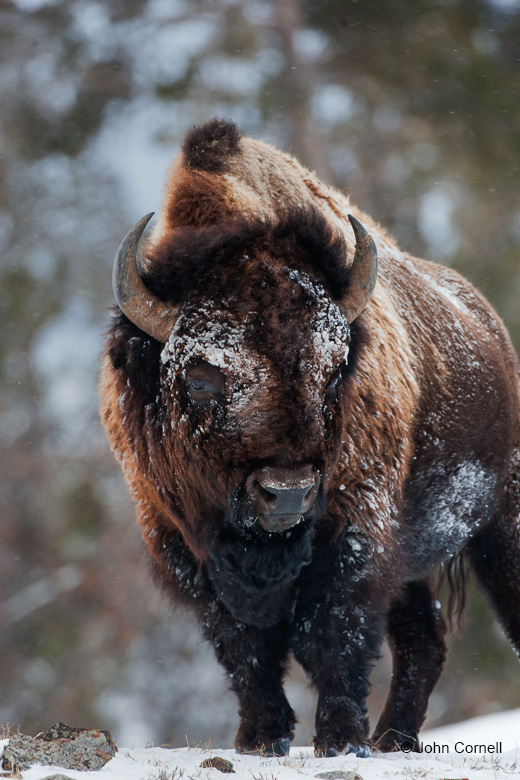 American Bison;Bison;Bison bison;Buffalo;One;Snow;Winter;Winter Yellowstone National Park;Yellowstone National Park;Yellowstone in Winter;color image;color photograph;natural;nature;outdoor;outdoors;wild;wilderness;wildlife